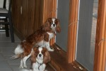 Wordless Wednesday – Cavalier King Charles Spaniels