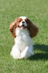 Cavalier King Charles Spaniels to Watch for at Westminster