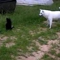 Dog playing with Skunk