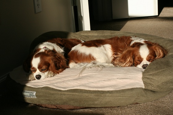 Cavalier King Charles Spaniels Sleeping in the Sun