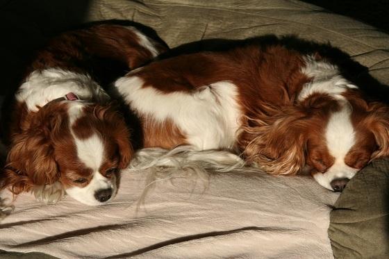 Cavalier King Charles Spaniels Sleeping
