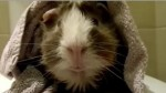 Guine Pig from Pets Add Life