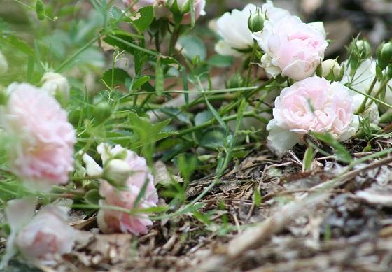 Running Roses