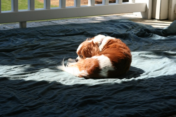 Cavalier Sleeping in the sun