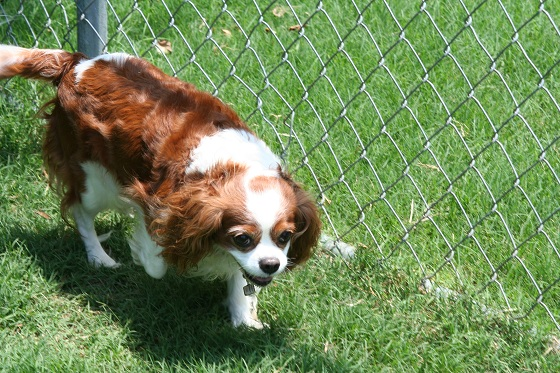 Cavalier King Charles Spaniel playing in the sun