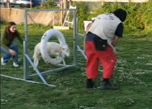 Sheep does Agility