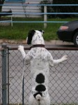 dog at fence