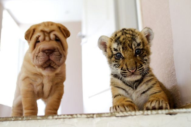 Puppy and Tiger