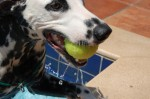 Dalmation Playing in the pool
