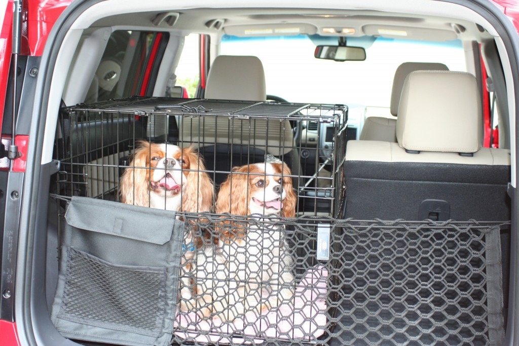 Cavalier King Charles Spaniels in the back of a Kia Soul