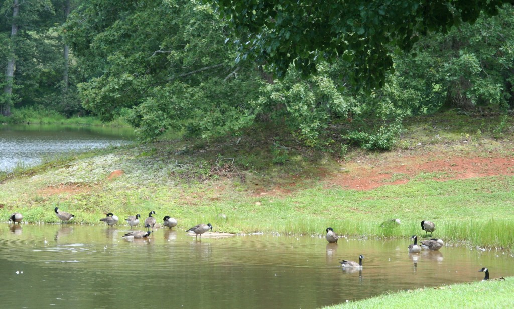 Geese in a pond