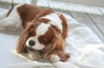 Cavalier King Charles Spaniels Eating a Bone