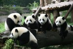 Chengdu #Pambassador Program – Panda Ambassadors