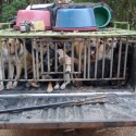 Dog Meat Factory Raided