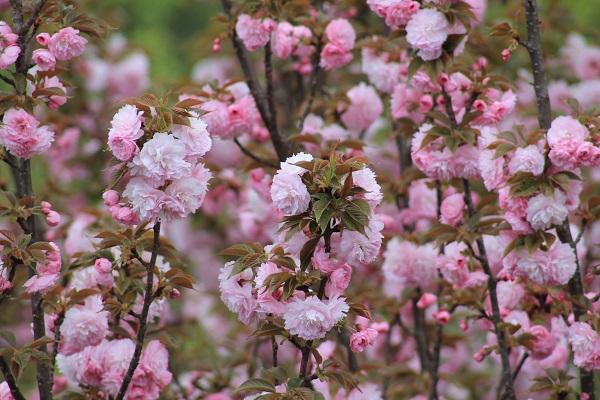 My Garden Pink Cherry Blossoms