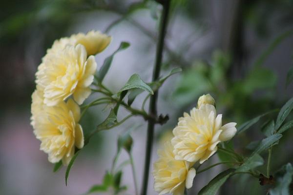 My Garden Yellow Climbing Vine