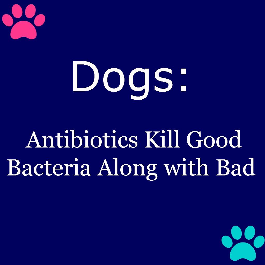 Dogs Antibiotics Kill Good Bacteria Along with Bad