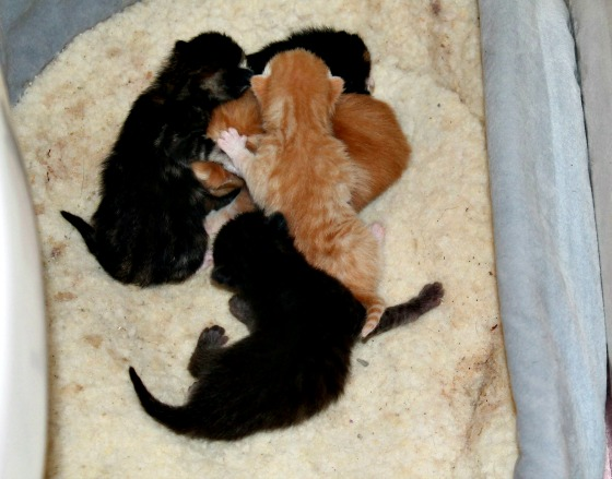 Foster a Cat Misty babies Day 1