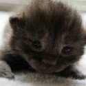 Bear Cub the Kitten