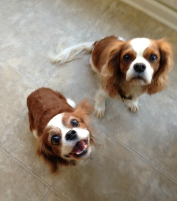 Cavalier King Charles Spaniels waiting for a treat