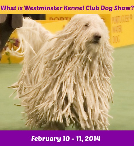 Westminster Dog Show Streaming App
