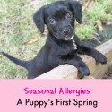 Seasonal Allergies - A Puppy's First Spring