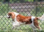 Revitamal Makes Us Feel Like Puppies - Davinia 10 year old Cavalier King Charles Spaniel #AntiAgingPets