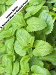 Lemon Balm A Natural Way to Banish Pests