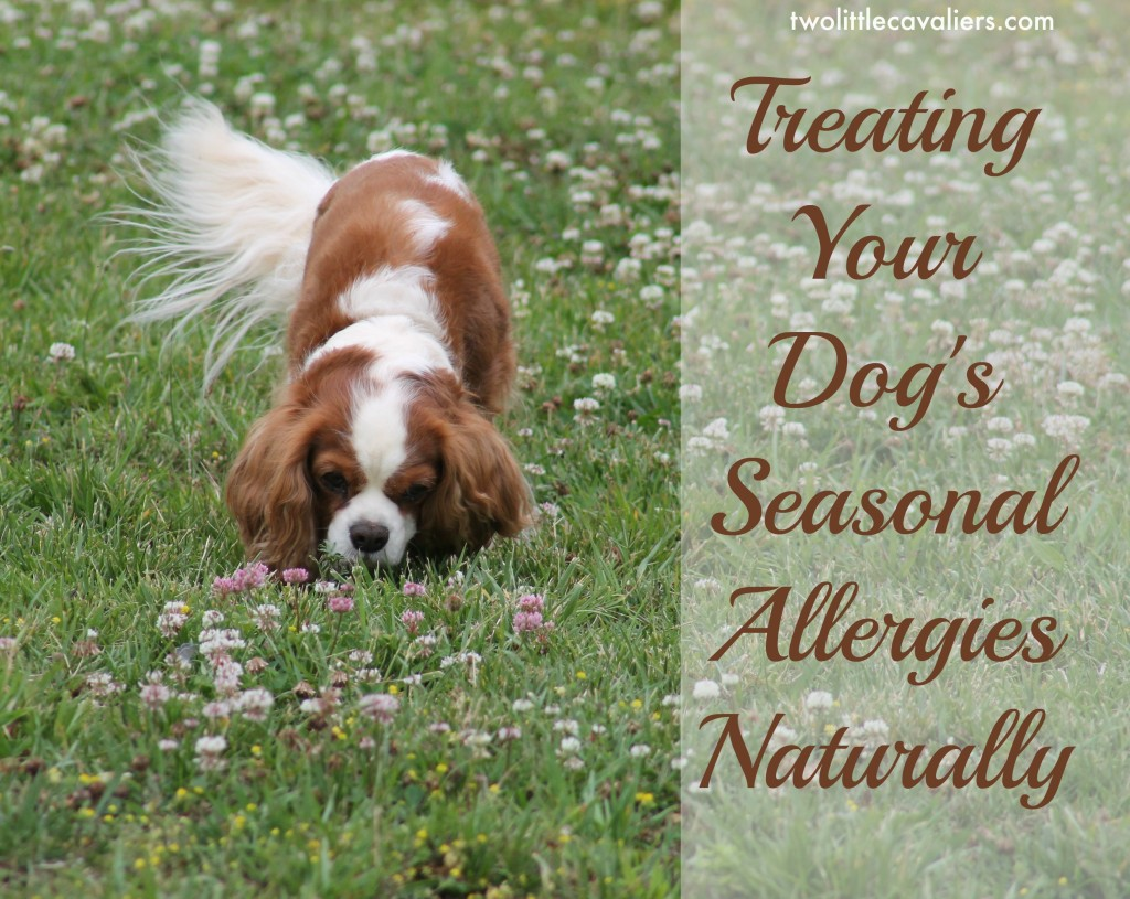 Treating your dogs seasonal allergies naturally for Fish oil for dog allergies