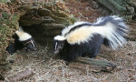 Striped Skunk - All Natural Skunk Remover