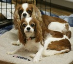 Davinia and Indiana Cavalier King Charles Spaniels