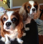 Cavalier King Charles Spaniels on the Chair
