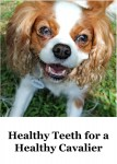 Healthy Teeth for a Healthy Cavalier. Indiana the Cavalier King Charles Spaniel Smiling at the camera
