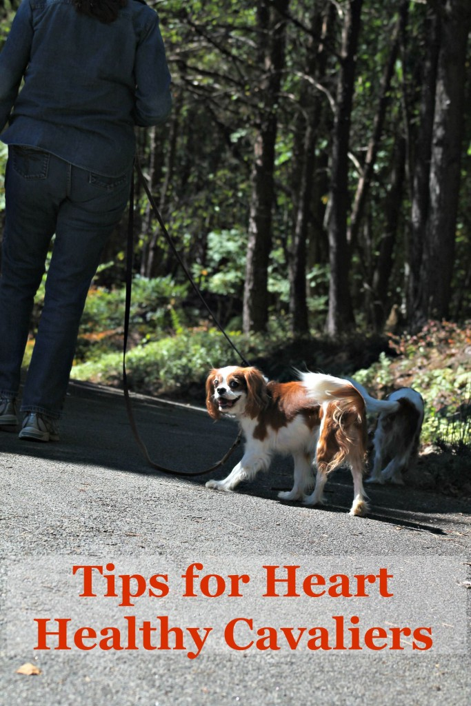 Tips for Heart Healthy Cavaliers