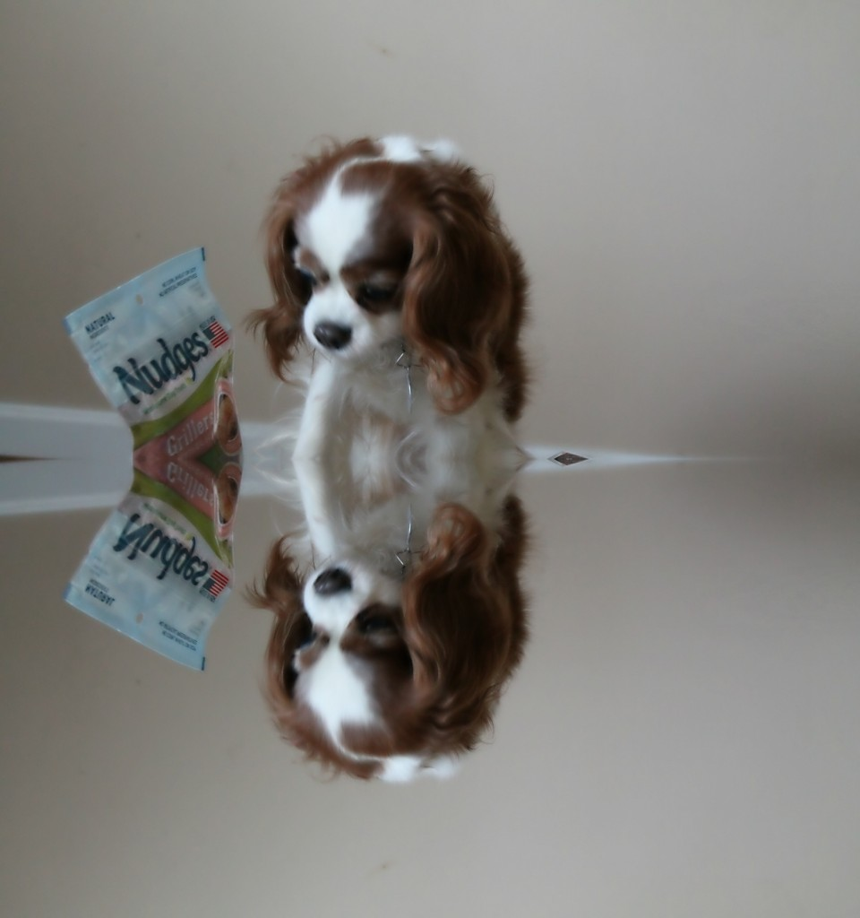 Cavalier King Charles Spaniel with Nudges Dog Treats