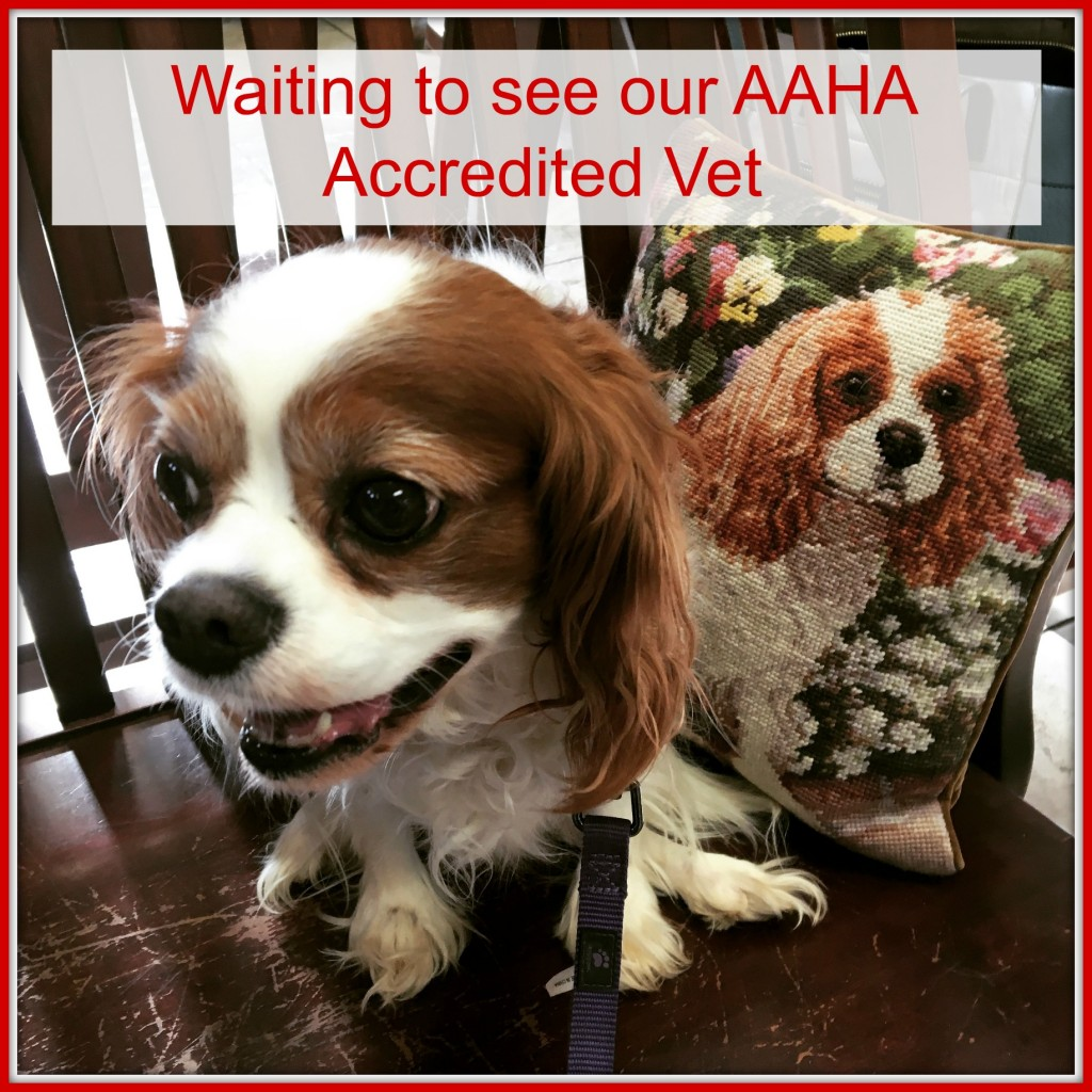 Davinia the Cavalier King Charles Spaniel Waiting to See the AAHA Accredited Vet